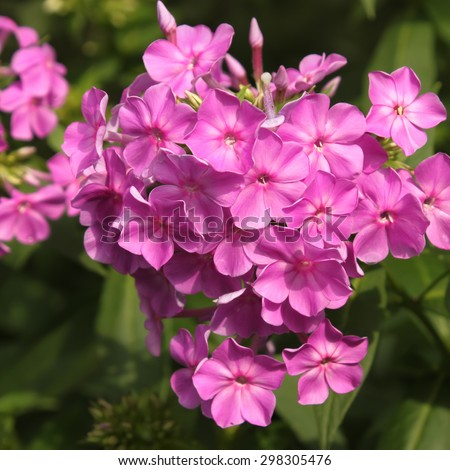 Purple phlox blooming on flowerbed in a lovely sunny day, close-up - stock photo