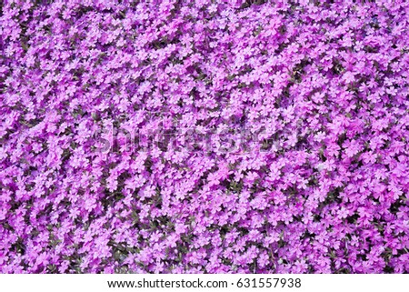 Purple phloxes small flowers bloom late stock photo royalty free purple phloxes small flowers bloom in late spring and early summer mightylinksfo