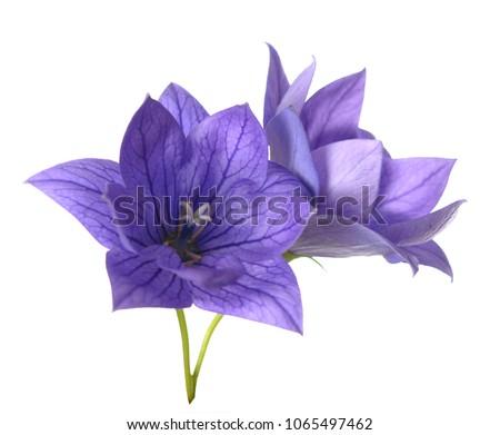 stock-photo-purple-platycodon-grandiflor