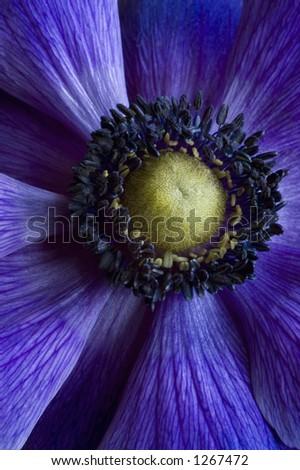 purple poppy - stock photo