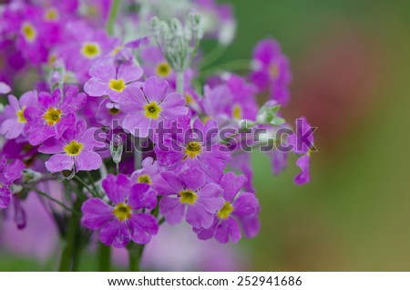 Purple primrose flowers in flowerbed with green background. - stock photo