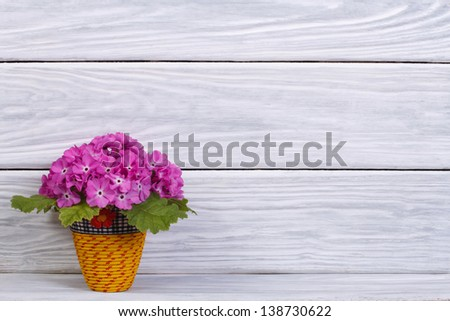 Purple primula in yellow pot on a wooden background