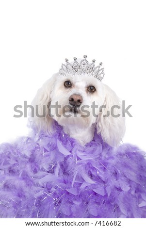 Purple Princess Havanese dog wearing tiara isolated on white - stock photo