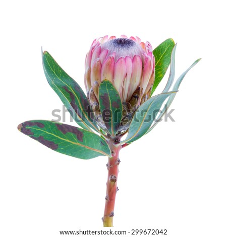 Purple Protea flower on a white background - stock photo