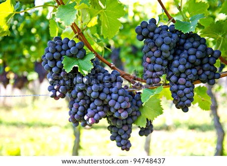 purple red grapes with green leaves on the vine. fresh fruits - stock photo