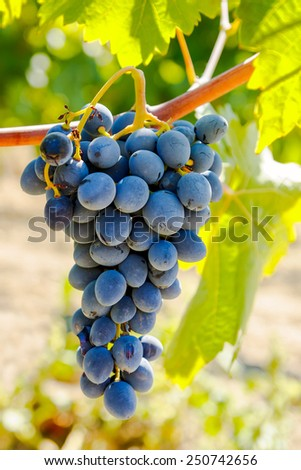 Purple red grapes with green leaves on the vine under the sun. fresh fruits. - stock photo
