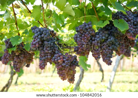 purple red grapes with green leaves on the vine. vine grape fruit plants outdoors - stock photo