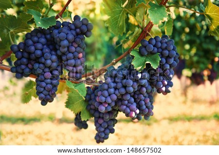 purple red grapes with green leaves on the vine. vine grape fruit plants outdoors. autumn and harvest. selective focus - stock photo
