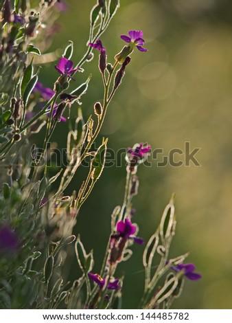 Purple rock cress (Aubrieta deltoieda) in the backlight - stock photo