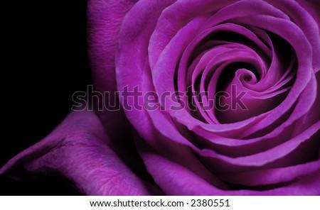 Purple Rose - stock photo