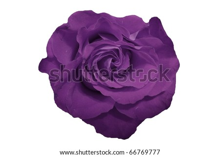 Purple Rose Flower Isolated on White - stock photo