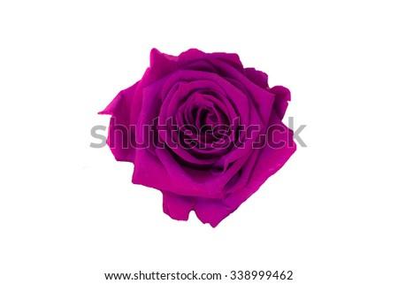 purple rose isolated on white background. Dark pink rose - stock photo