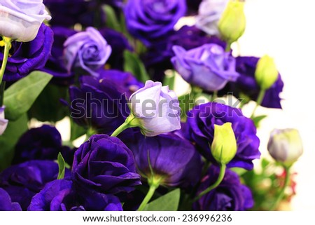 Purple roses and buds,closeup of purple roses in full bloom - stock photo