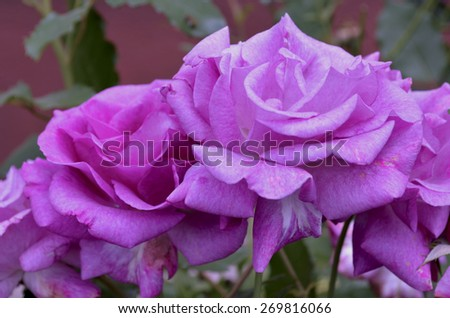 Purple roses in the garden - stock photo
