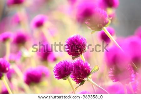 Purple round flower filed - stock photo