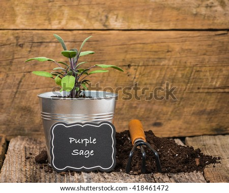 Purple sage, a herb, planted in a metal container on a rustic background. - stock photo