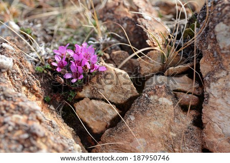 Purple saxifrage, one of the very first spring flowers, growing at rocks at Norwegian coast. - stock photo