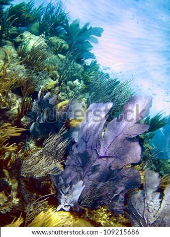 purple sea fan on coral reef, Bermuda - stock photo