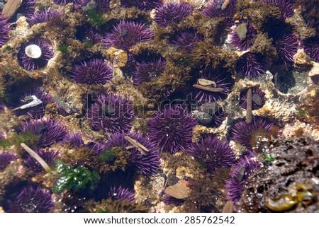 Purple sea urchins colonize naturally formed holes in tidepool rocks,  ( Strongylocentrotus purpuratus ),  Cobble Beach, Yaquina Head,  Oregon Coast - stock photo