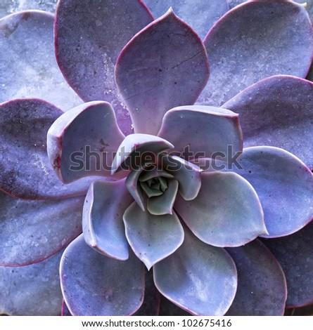 purple sempervivum petals. See my portfolio for more - stock photo