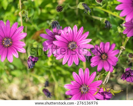 Purple South African Daisy (Osteospermum x ) daisy-like composite flower - stock photo