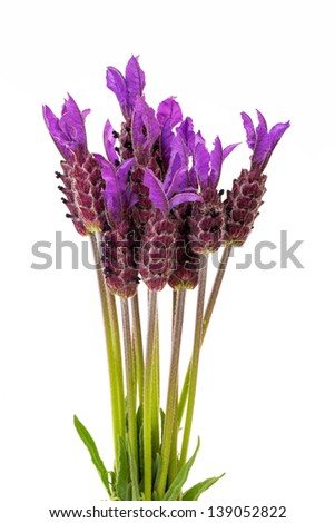 Purple Spanish Lavender Flowers on white Background, Lavandula stoechas - stock photo