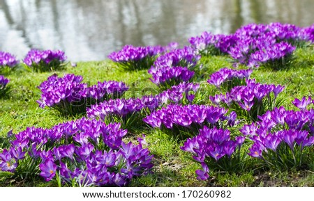 Purple spring crocus blooming at the waterside in march - stock photo