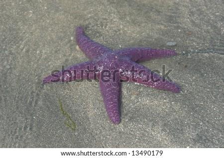 purple starfish on the sand - stock photo