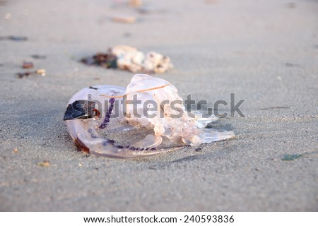 purple striped Jellyfish on a sandy beach after a sea storm - stock photo