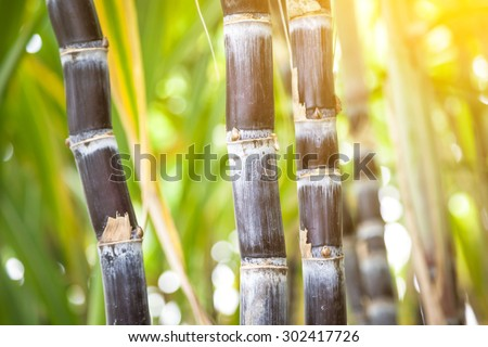 purple sugar cane in the field - stock photo