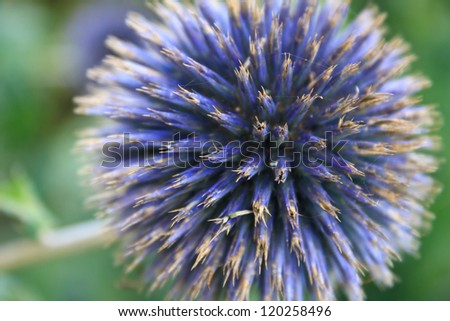 Purple Thistle, the national flower of Scotland - stock photo