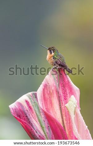 Purple-throat Mountain Gem Hummingbird - stock photo