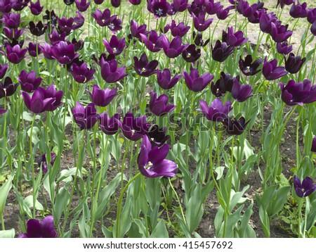 Purple tulip flowers - stock photo