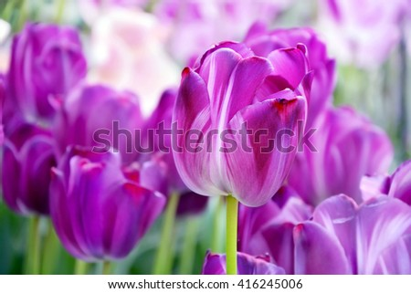 Purple tulips. Beautiful nature background. Shallow depth of field