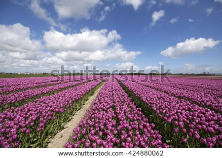 Purple tulips in a row on a beautiful sunny spring day with a blue sky. Nature spring picture.