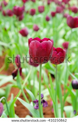 Purple tulips in field at winter flower exhibition.