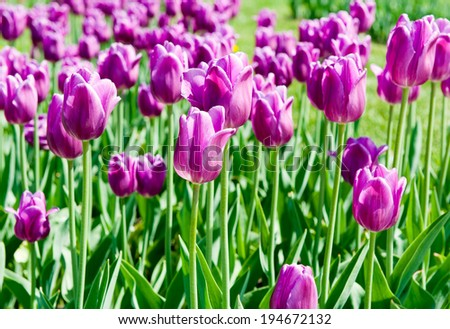 Purple tulips in sunny day