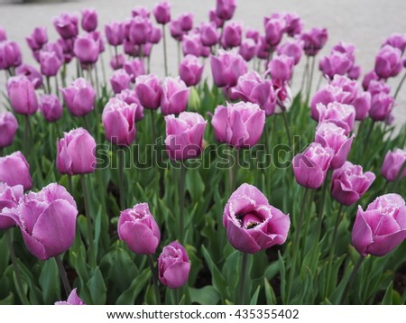 purple tulips with petals with serrated edge
