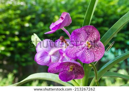 Purple Vanda orchid - stock photo