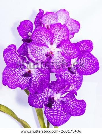 purple vanda orchid isolated - stock photo