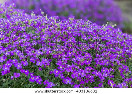 purple violet flowers in nature
