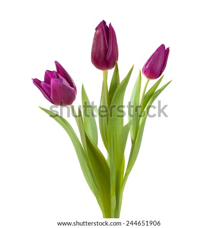 purple violet  tulip flower full-length on a stem with leaves isolated on white background