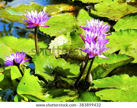 Purple Water Lilies. Beautiful purple water lilies on sunny day    - stock photo