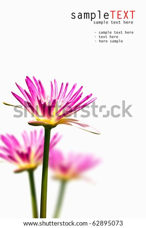purple water lilies isolated on white background