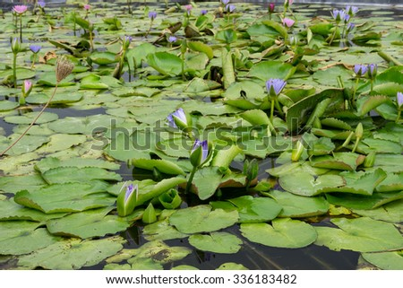 Purple Water lilies, lotuses in nature