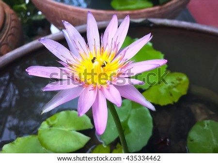 Purple water lilly Flower, water lilly Flower top view, Purple Lotus Flower,Water lilly, Lotus - stock photo