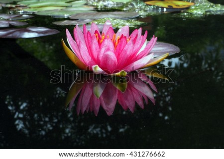purple water lilly  lotus - stock photo