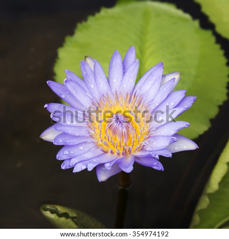 Purple water lilly or lotus on the pond