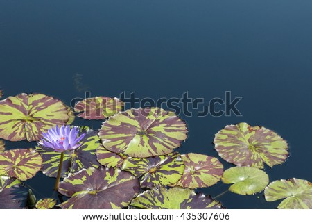 purple Water lily bloom in summer water garden - stock photo