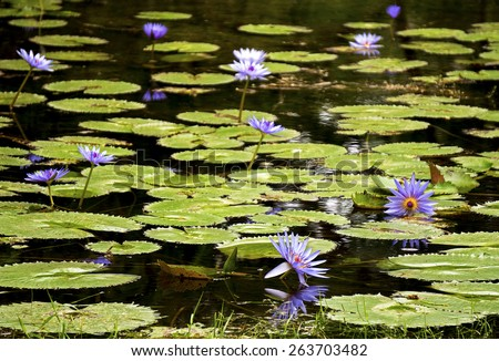 Purple water lily flower growing in a garden pond. - stock photo
